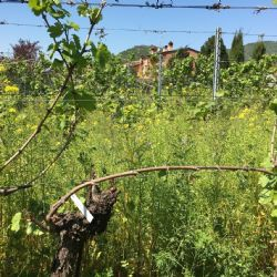 22-04-2020: pianta di vite sottoposta a potatura tardiva